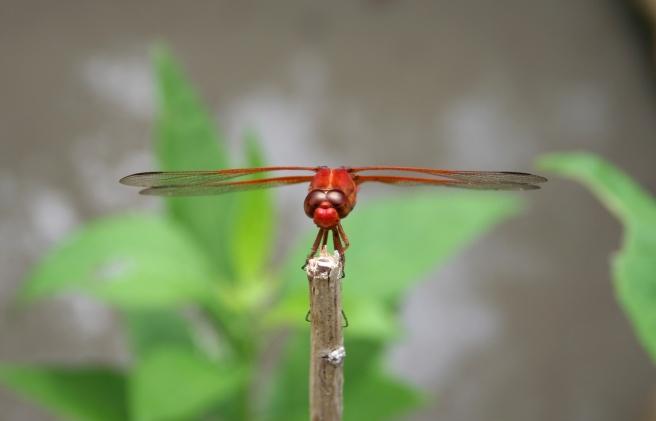ranch centipede dragonfly 060.jpg