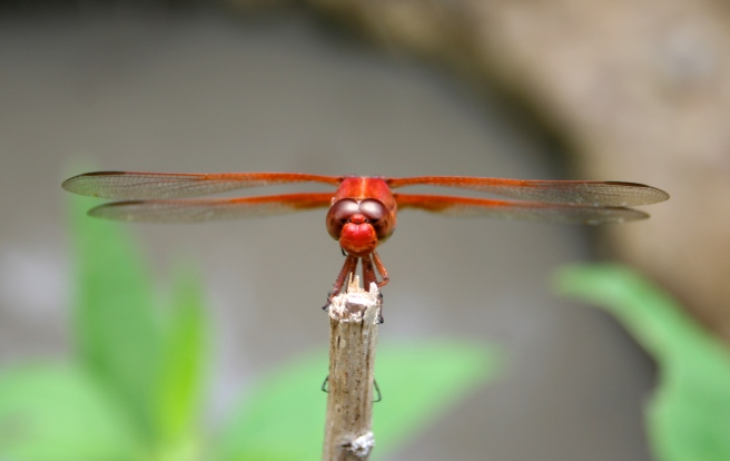 ranch centipede dragonfly 061.jpg