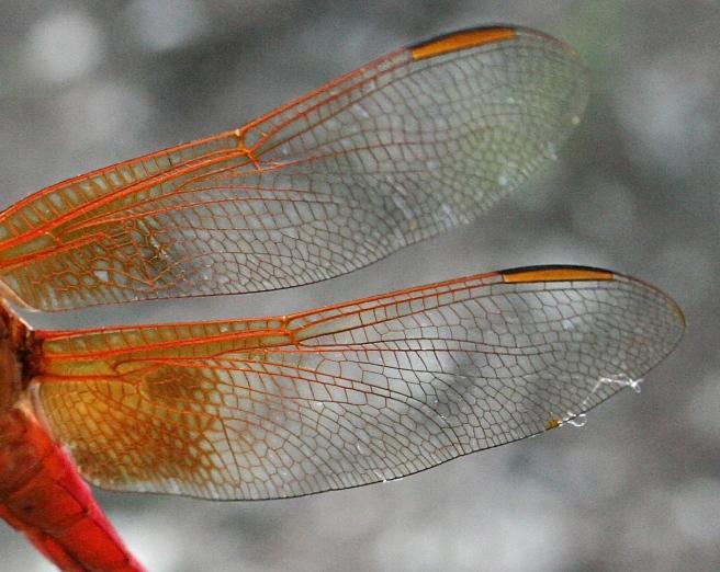 ranch centipede dragonfly 083 - Version 2.jpg