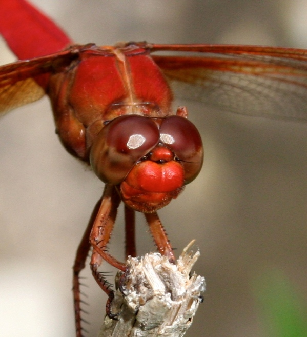ranch centipede dragonfly 156 - Version 2.jpg